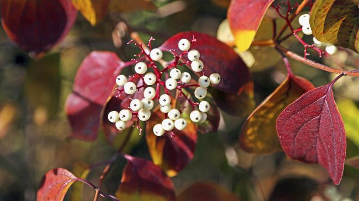 Дерен белый осенью