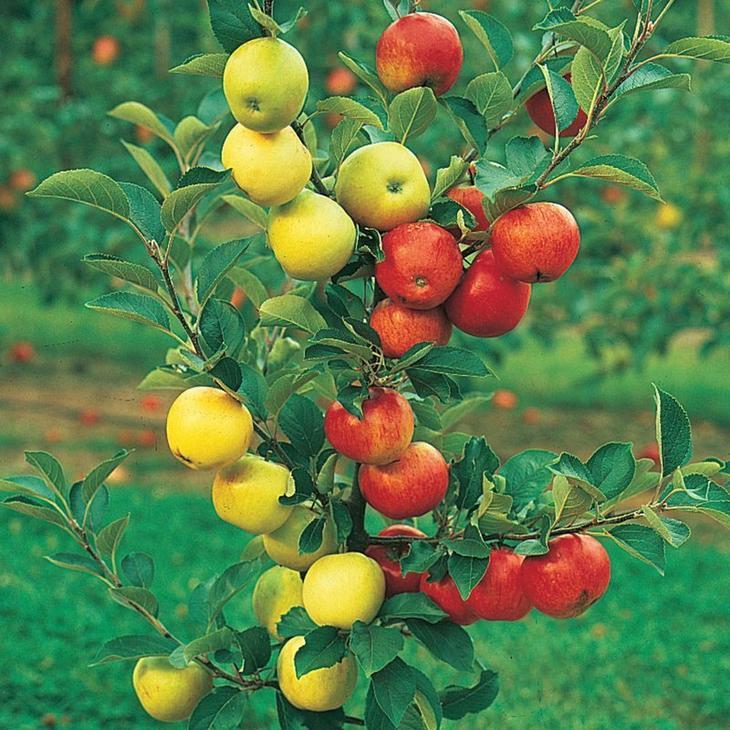 Чаще всего на одну яблоню прививается 4 сорта, реже – 3. На грушу прививается 2-3 сорта. Фабрика идей, дерево-сад, интересное, растения, садоводство, факты