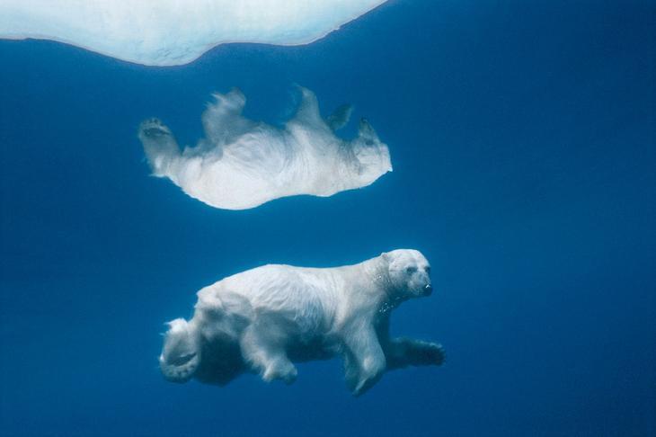 Белый медведь в воде loverme