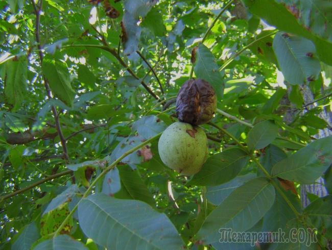 Болезни дерева грецкий орех