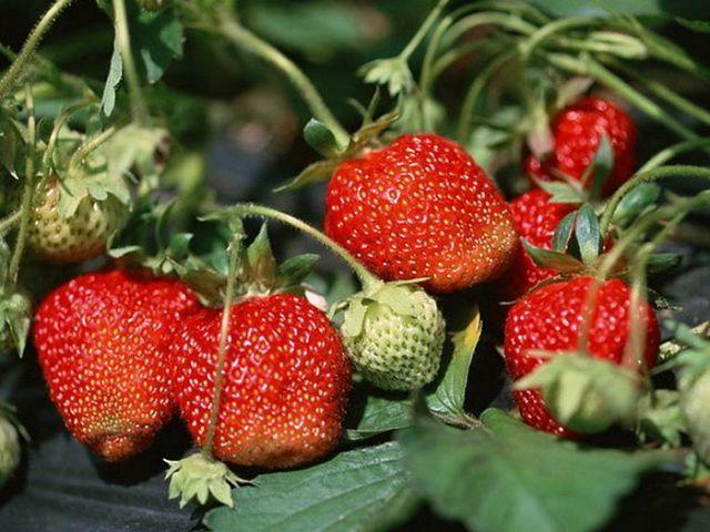 Как вырастить клубнику из семян дачные хитрости