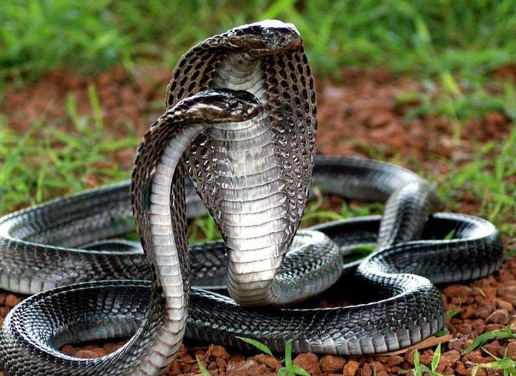 Черная змея с красной полоской на голове