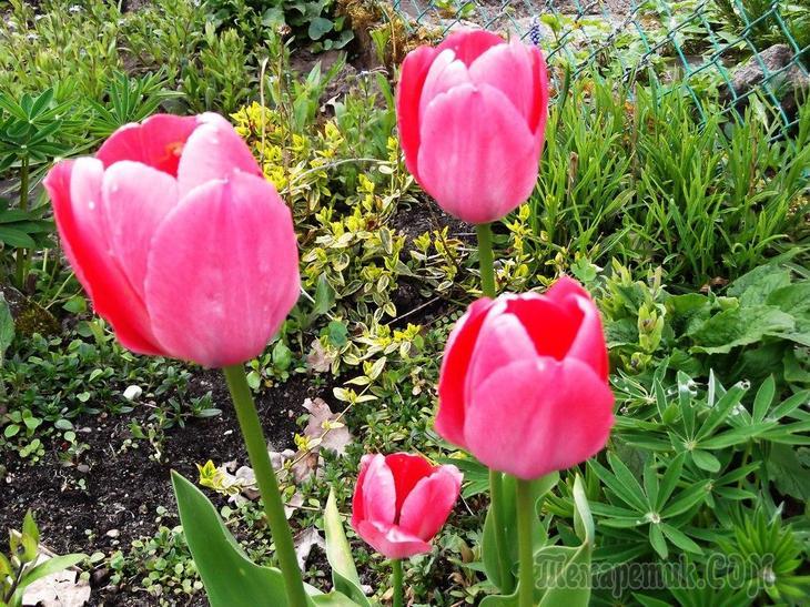 Почему не цветут тюльпаны не распустились одни листья и пустоцветы