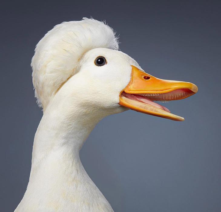 Хохлатая утка характеризующаяся развитием хохолка на голове
