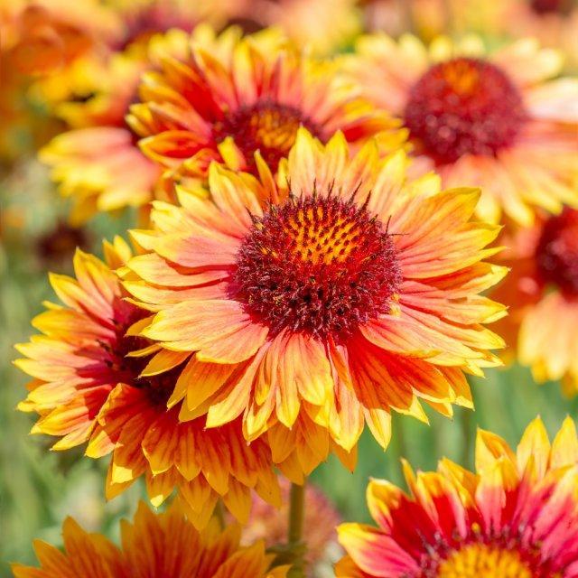 7 многолетников, которые цветут в первый год