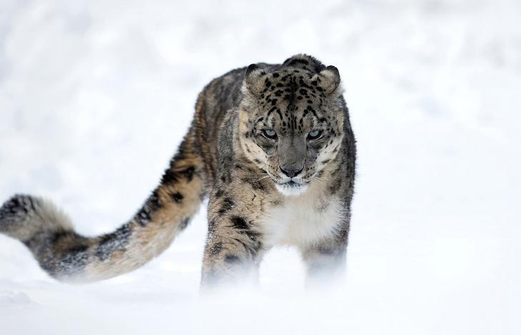 Красавец снежный барс