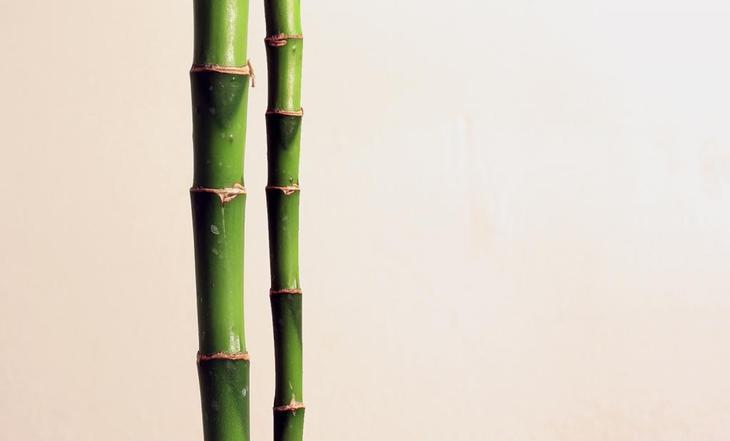 выращивание комнатного бамбука