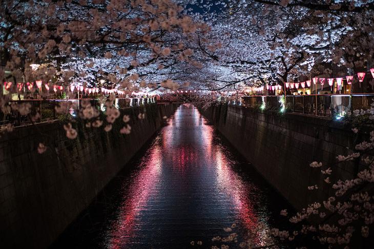 Вишневый цвет над каналом в районе Мегуро, Токио, Япония