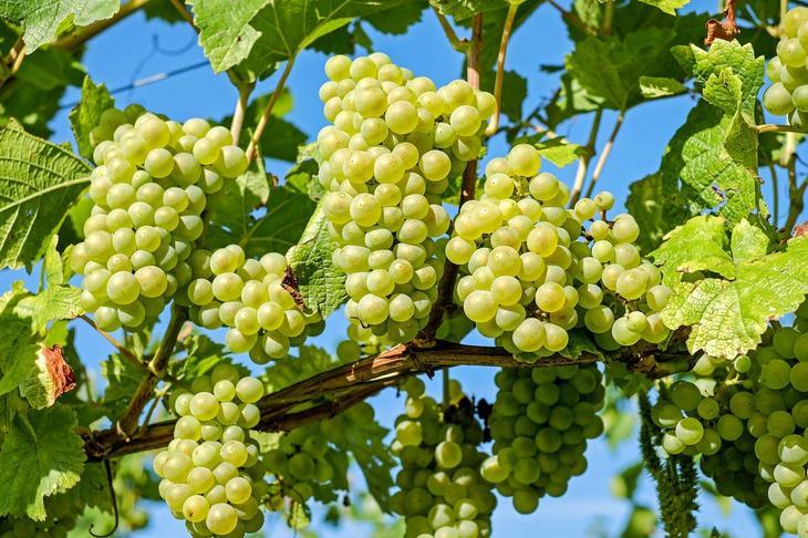 Когда осенью закрывать виноград