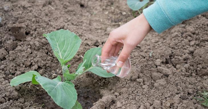 Цветная капуста как выращивать в открытом грунте