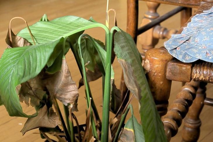 Почему чернеют кончики листьев у комнатных растений