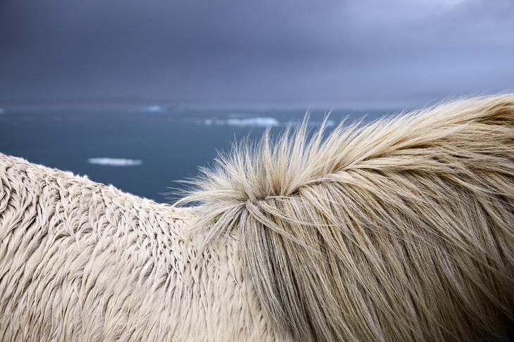 loshadi-Islandii-fotograf-Dryu-Doggett 19
