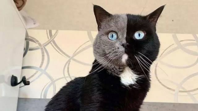 Кот с двухцветной мордашкой стал отцом двух котят, каждый из которых получил от него по одному цвету