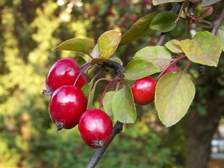райские яблочки на ветке