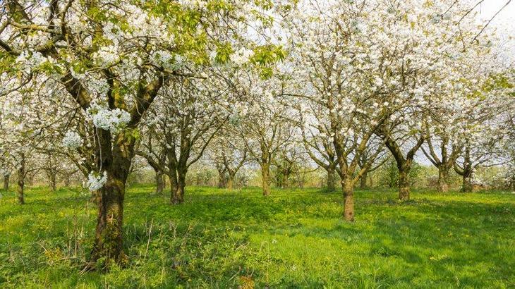 вишня растет в саду