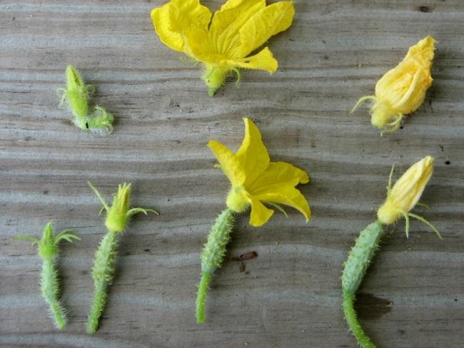Огурцы пустоцветы что делать народные средства