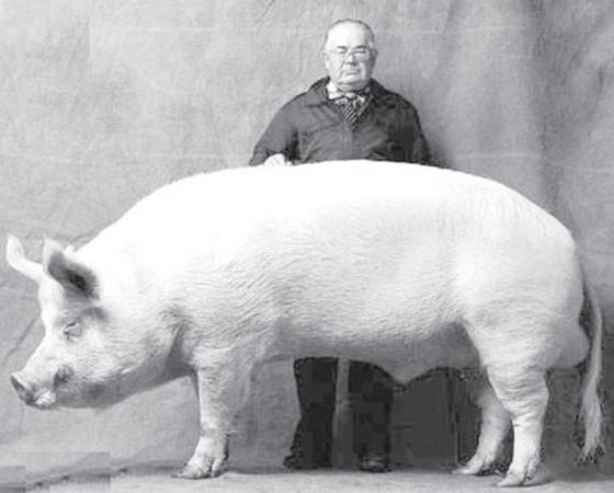 Самая большая свинья в мире и крупные породы домашних свиней