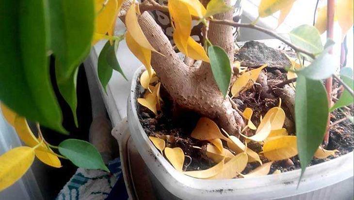 Бенджамин скидывает листья