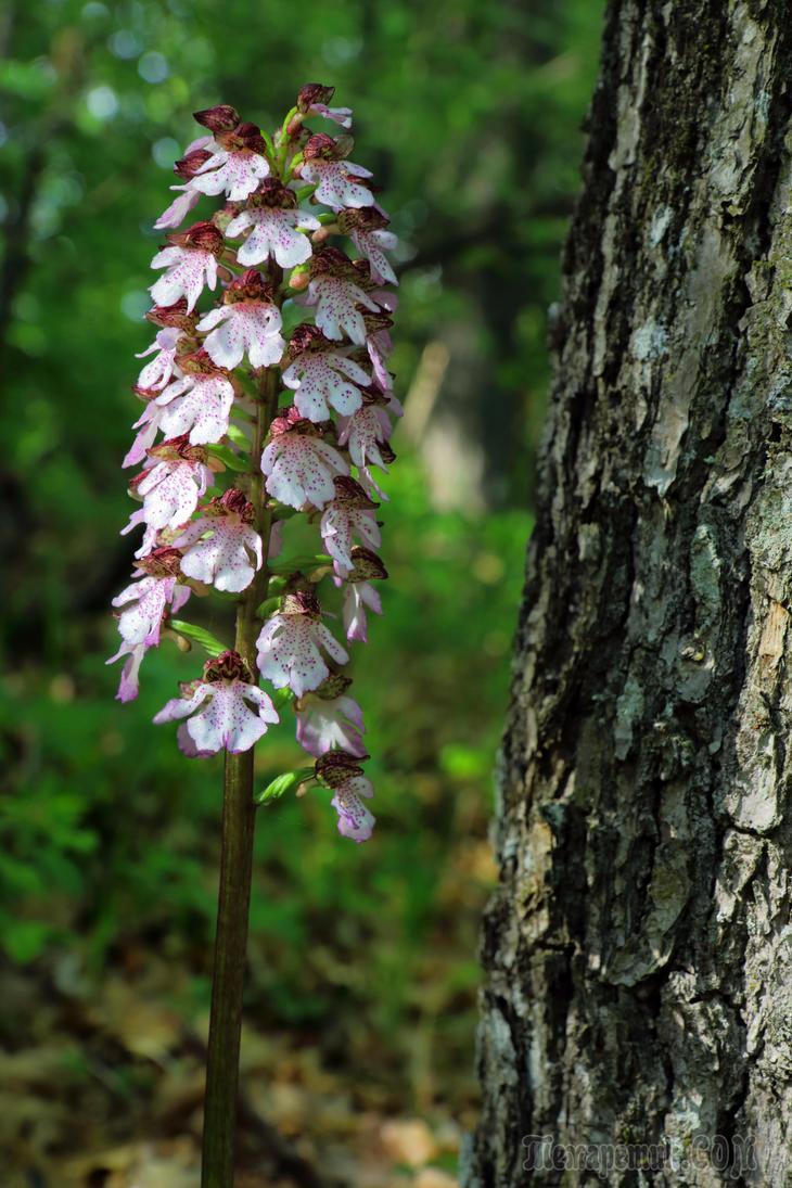 Орхидеи Крыма