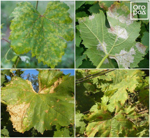На листьях винограда красные пятна почему причины и что делать для лечения