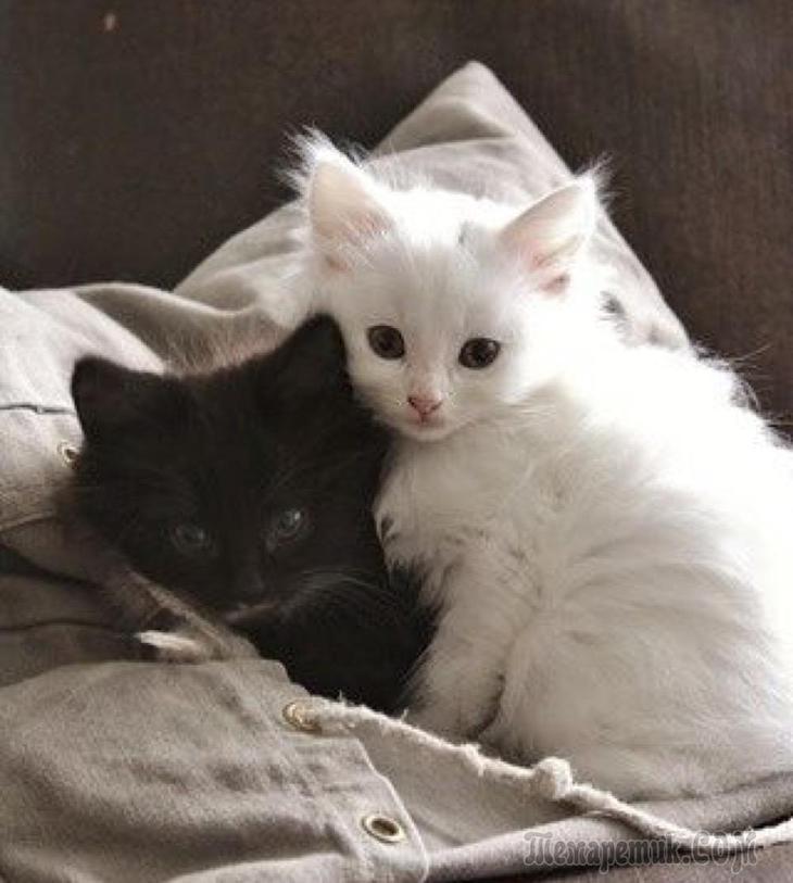 Белая британская кошка обнимает хозяина на фото