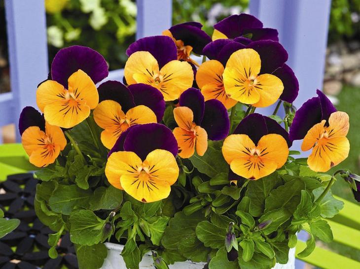 Низкорослые многолетние растения – это цветы, которые достигают в высоту не больше 30 см и цветут все летние месяцы.