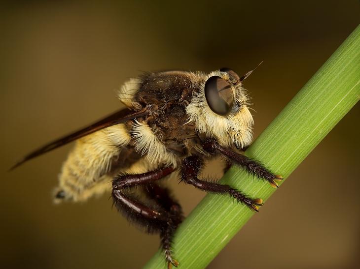 Африканизированная пчела — гибрид африканской пчелы с европейскими видами пчёл. (Roy Niswanger)