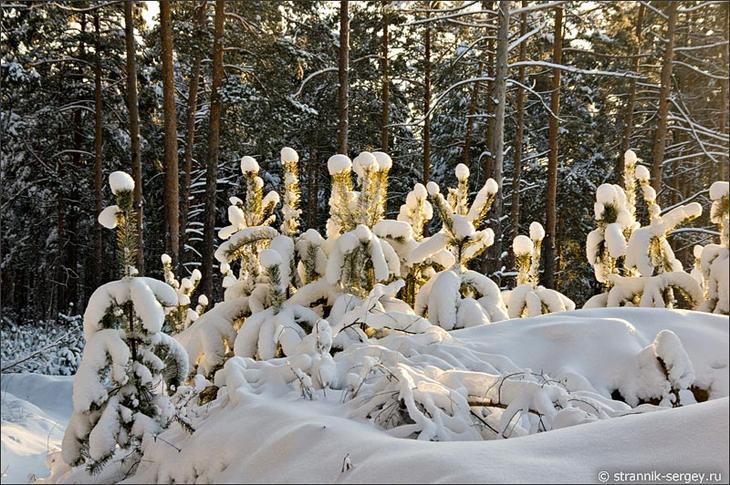 Зимний лес заснеженные сосны