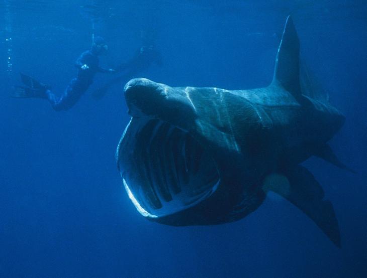 Гигантская акула . 10 самых больших рыб в мире. Фото с сайта NewPix.ru