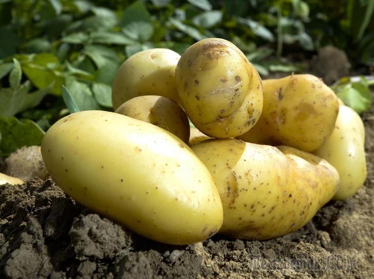 Какие сидераты лучше сеять осенью после картофеля{q}