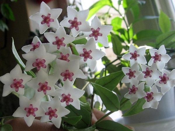 Прекрасная Хойя Белла: стоит ли держать в доме такое растение, сложно ли ухаживать за ним