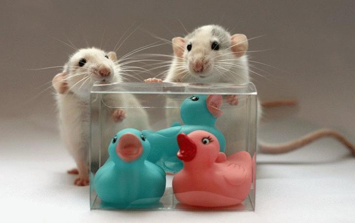 Крысы позируют с игрушками. Эллен ван Дилен. Фото