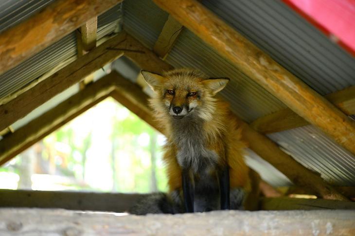 Деревня лисиц в Японии, фото