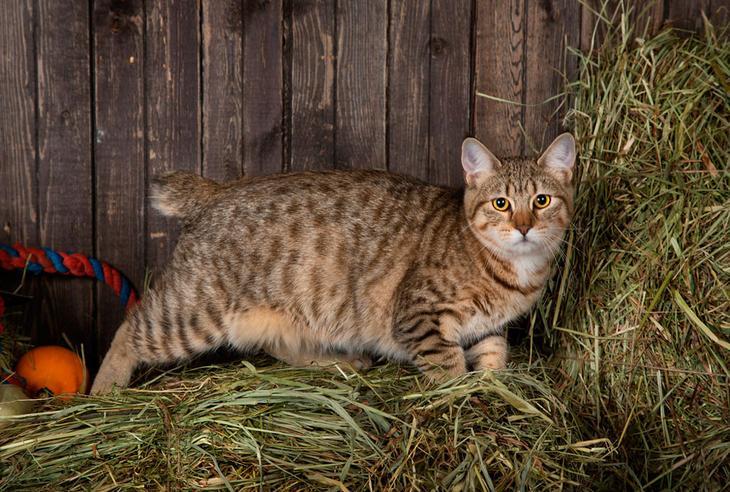 кошка пикси-боб фото