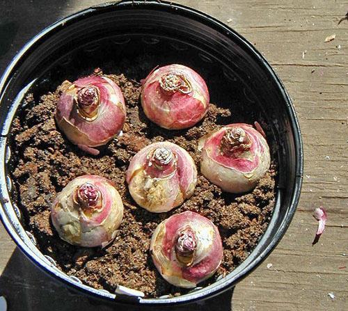 Цветок гиацинт: как вырастить и ухаживать в домашних условиях после цветения в горшке и в открытом грунте, сорта с фото