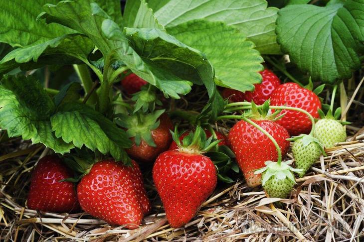 5 хитростей, которые помогут увеличить урожай клубники в 2-3 раза