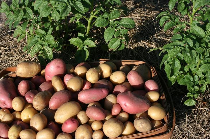 Чем обеспечить защиту картофеля от фитофтороза после посадки