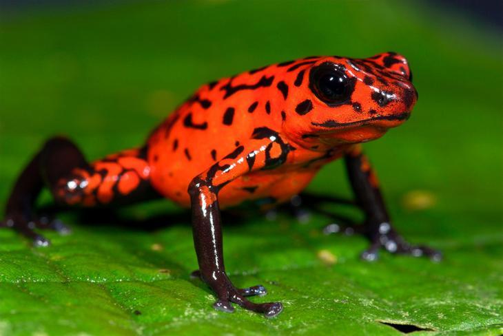 Лягушка древолаз животные, красные животные, природа, цвет