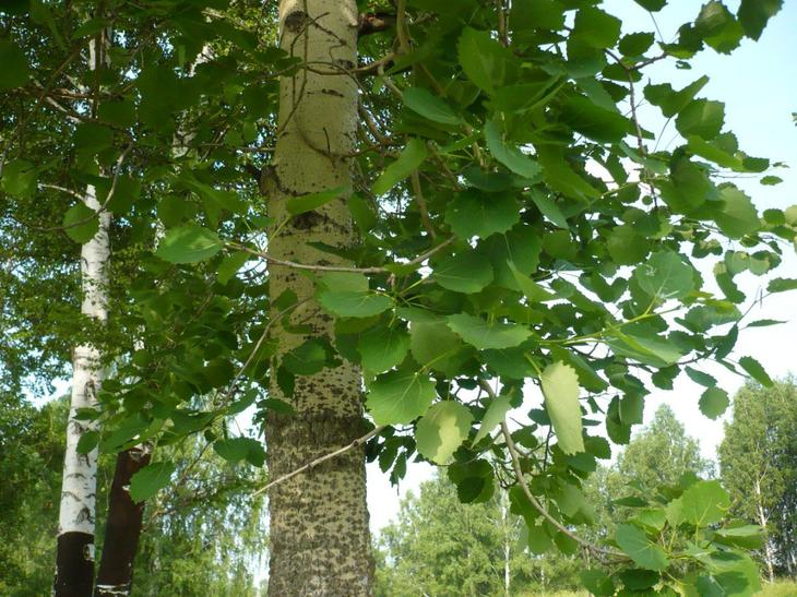 Свойства дерева ОСИНА. Целебная сила дерева. Как деревья нас лечат. Фото с сайта NewPix.ru