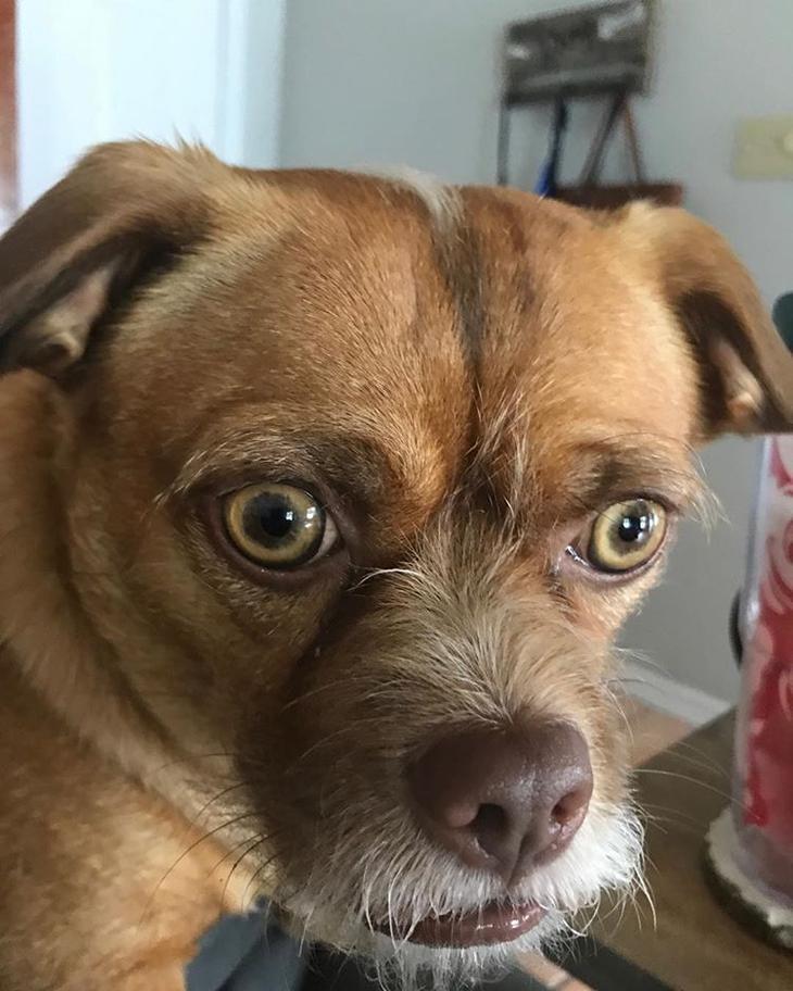 Бекон собака чьи фотографии стали вирусными,  бекон собака с невероятной мимикой