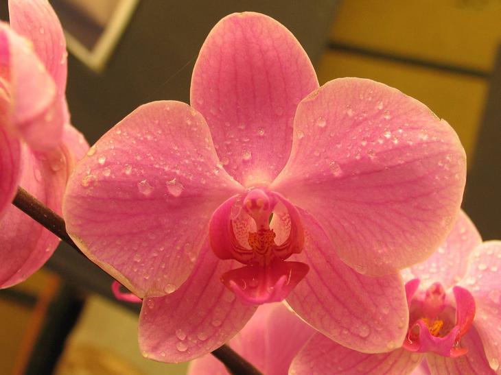 Орхидея «Фаленопсис»: фото, уход в домашних условиях