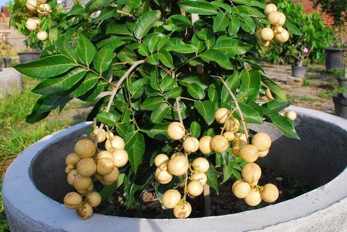 Выращивание лонгана в домашних условиях: как вырастить фрукт дома из семени и как ухаживать за растением