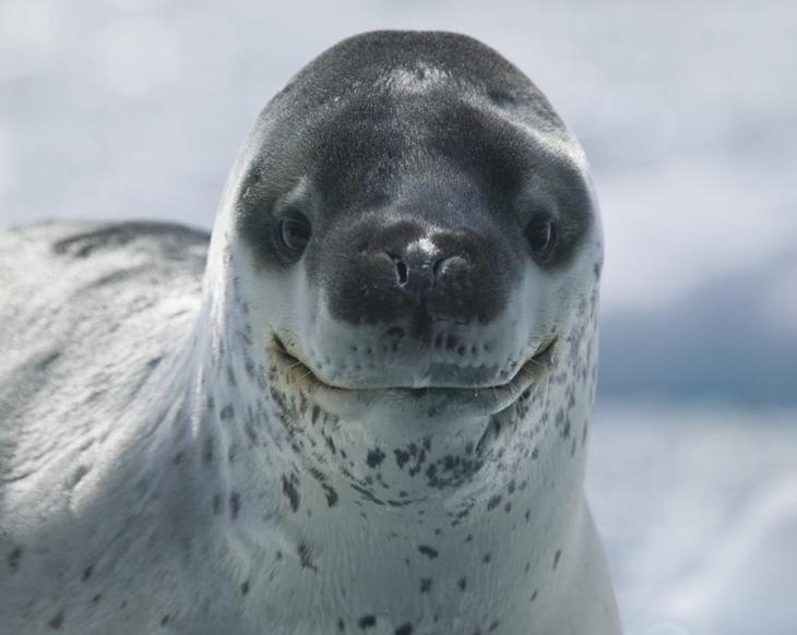 7. Морской леопард животные, природа, факты
