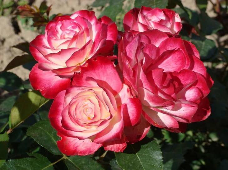 Роза Принц Монако