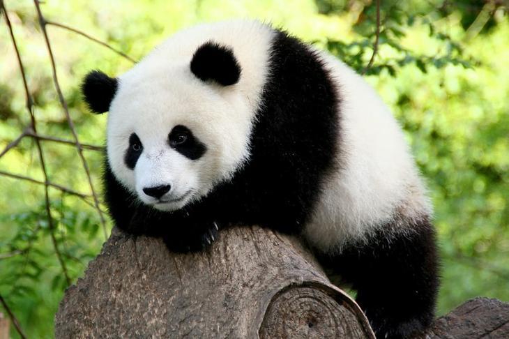 11. Панда животные, природа, факты