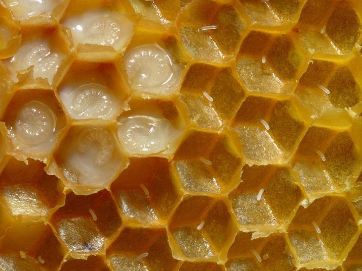 1200px-Bienenwabe_mit_Eiern_und_Brut_5