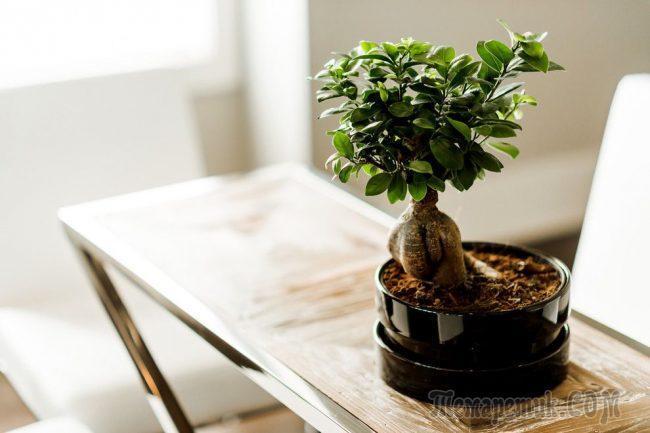 Карликовые деревья для квартиры