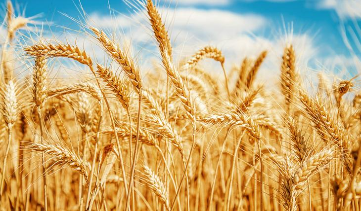 Пшеница – растение, проростки семян которого стоит включить в рацион