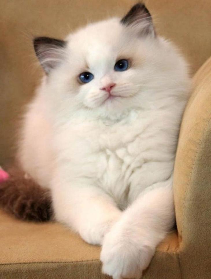 самые пушистые котята в мире фото полезные