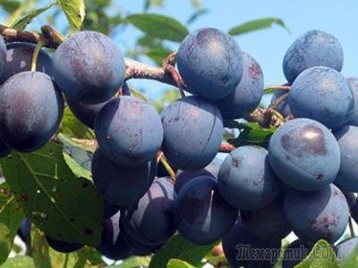 Слива Терновка: описание сорта, посадка и уход, уборка урожая с фото